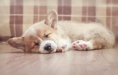 フローリングで眠るコーギーの子犬