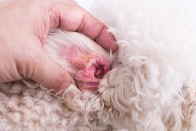 犬の耳血腫