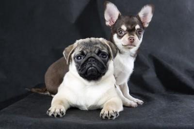 パグとチワワの親犬