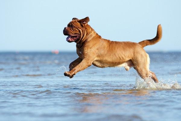 水辺で遊ぶボルドーマスティフ