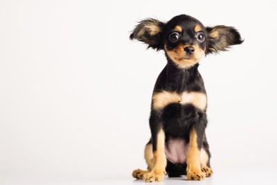 耳を大きく広げている犬