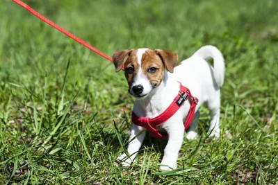 赤いハーネスをして散歩をする犬