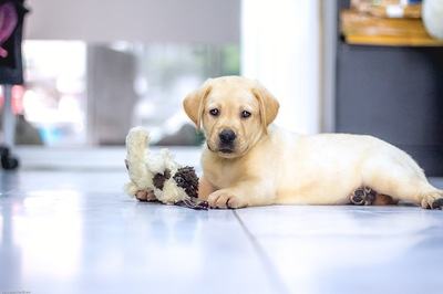 ぬいぐるみで遊ぶラブラドールの子犬