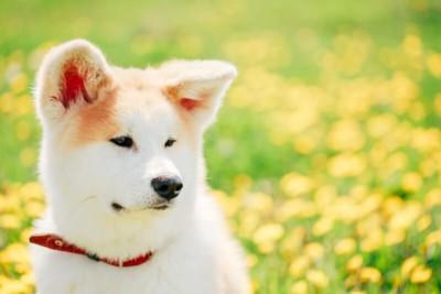 お花畑を背景にキメ顔の秋田犬