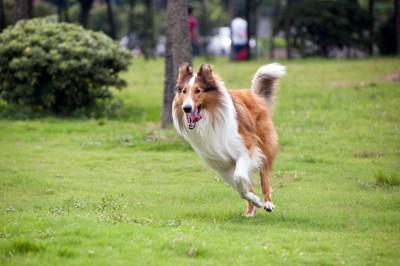 芝生の上を走るコリー