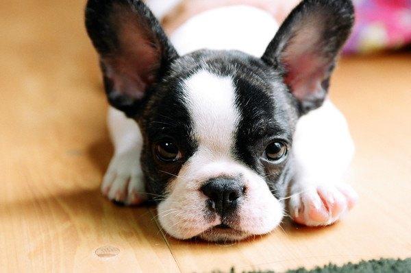 伏せるフレンチブルドッグの子犬