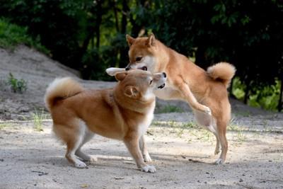茶色いラブに飛びつく小型犬