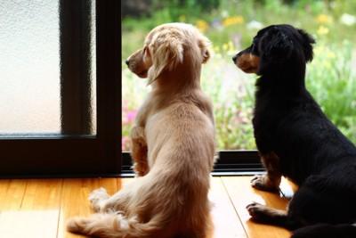 窓の外を見ている犬たち