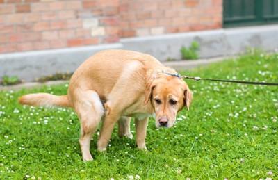 草むらにウンチをしている犬