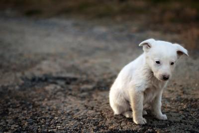 悲しげな表情でうつむく白い子犬