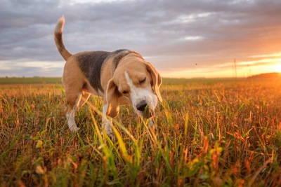 草を食べているビーグル犬