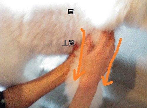 白い犬 前足 マッサージ