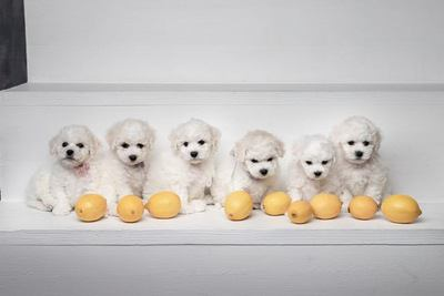 レモンと6匹のビションフリーゼの幼犬