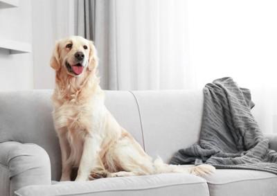 グレーのソファーの上のラブラドール