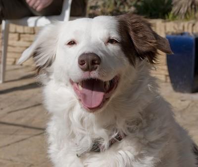 笑顔白に茶パッチ犬