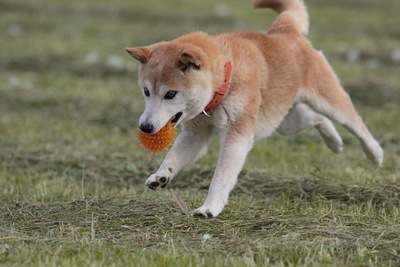 ボールを咥えながら飛び跳ねる犬