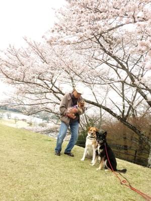 サクラと犬