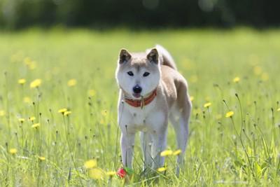 野原に立つ柴犬