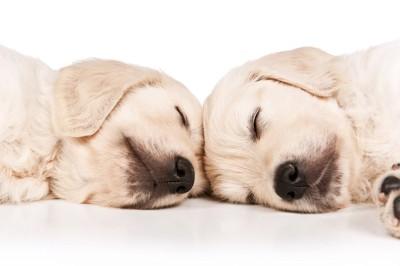 おでこを合わせて眠るゴールデンの二頭の子犬
