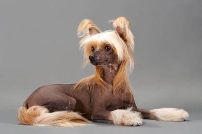 髪の毛がフサフサな犬