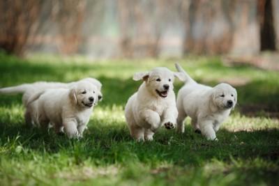芝生の上を駆ける子犬たち