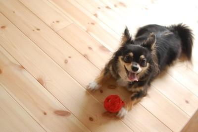 赤いボールで遊びながらこちらを見ている犬