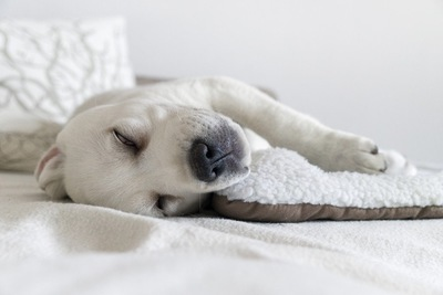 白目で寝るレトリバー
