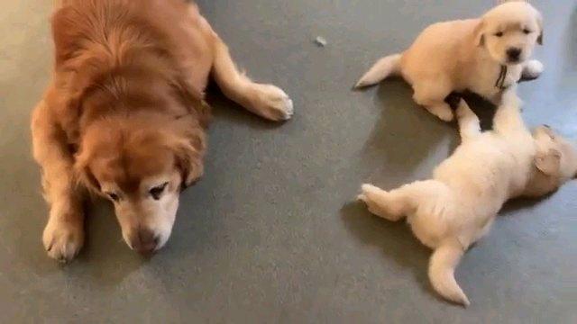子犬二匹と親犬