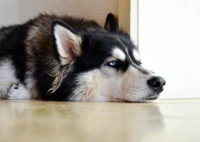 退屈そうな顔で床に伏せているシベリアン・ハスキー