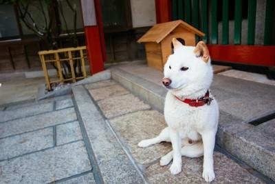 白毛の柴犬