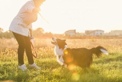 夕日の中、散歩中のボーダーコリー