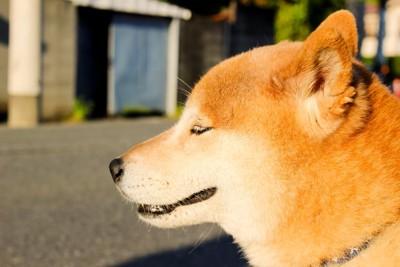 柴犬の成犬