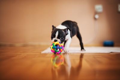 部屋でおもちゃで遊ぶ犬