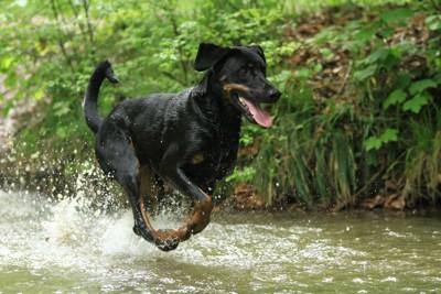 水の上を走る犬
