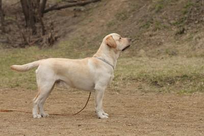 立っている犬