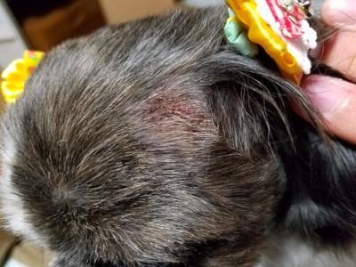 犬の頭部の皮膚炎