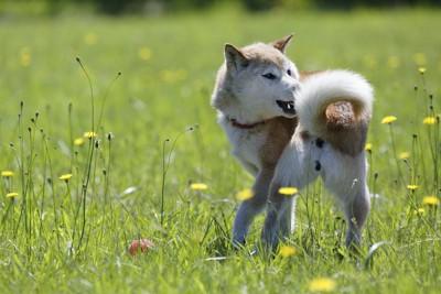 屋外で自分のしっぽを追いかける柴犬