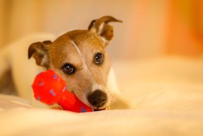 おもちゃを咥えている犬
