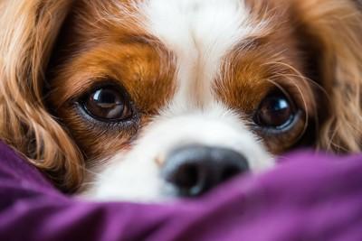 潤んだ瞳で見つめる犬