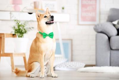お座りして見上げる柴犬、緑のリボン