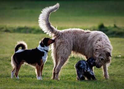 臭いを嗅ぎ合う大きさの違う3匹の犬
