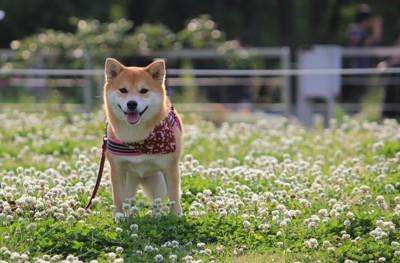 柴犬とシロツメクサ