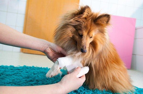 包帯を巻かれる茶色い犬