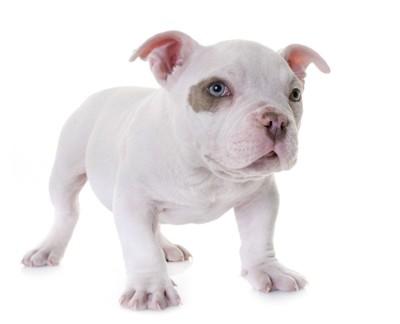 アメリカンブリー子犬