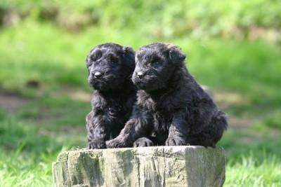 2頭のブービエデフランダースの子犬