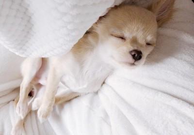 ベッドで寝ているチワワのちぴくん