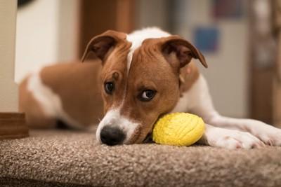 おもちゃをそばに置いて不満そうな顔をする犬