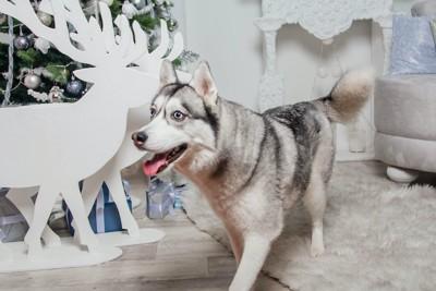 部屋を歩いているハスキー犬