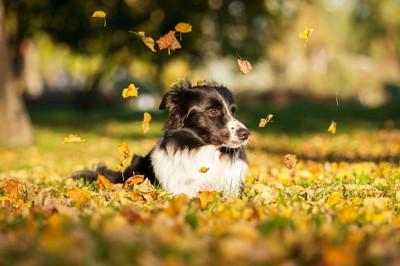 落ち葉の上で伏せる犬