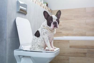 人用のトイレの便器に座っている犬